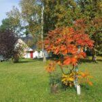 Eichenkrone mit Essigbaum